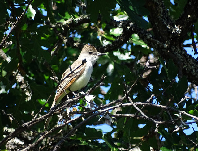 Ash-throated Flycatcher by Diane Y-Q