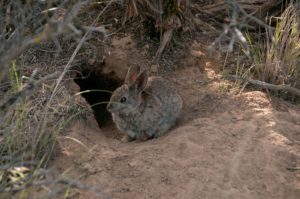 Pygmy Rabbit project, Nature Conservancy.  Photo/Hannah Letinich