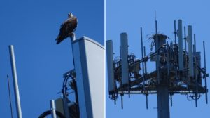 This Osprey on the Key Peninsula likely did not succeed this year.
