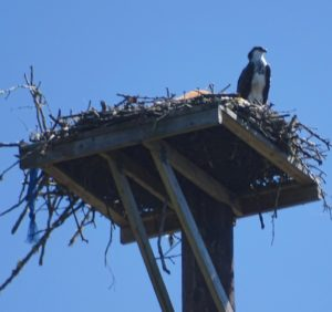 Ready to fledge on Victor mitigation tower,7-28-16